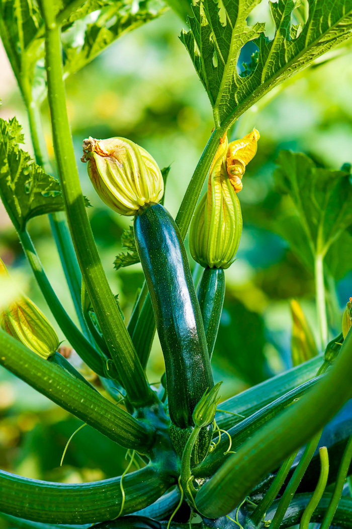 Chocolate Zucchini Cake Stock photo of a growing zucchini plant