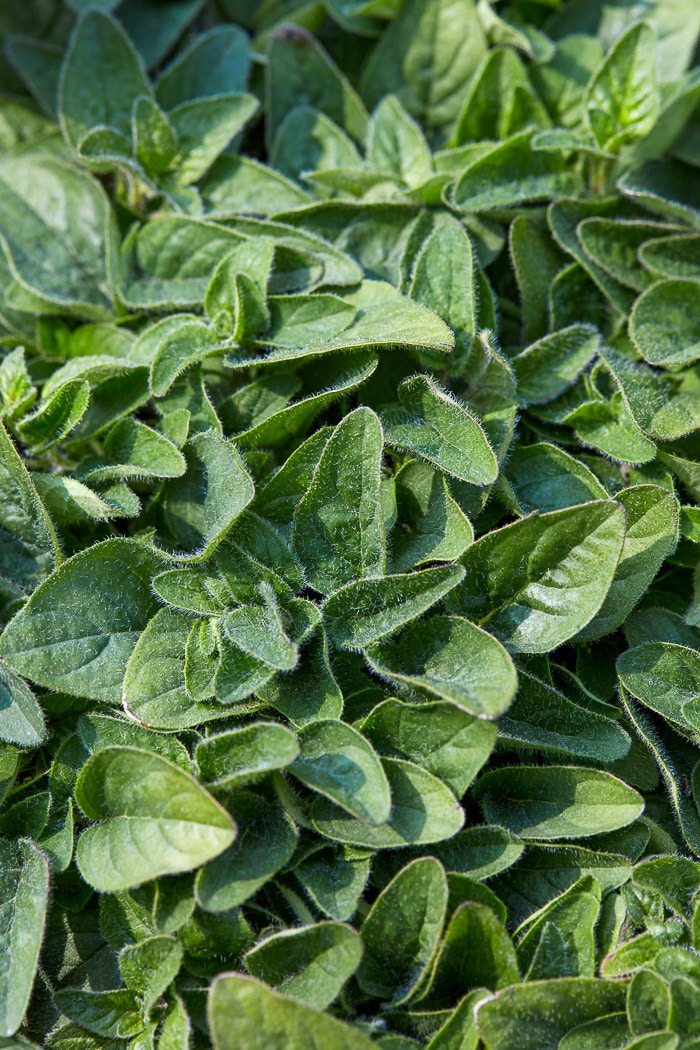 Stock photo of bunches of oregano