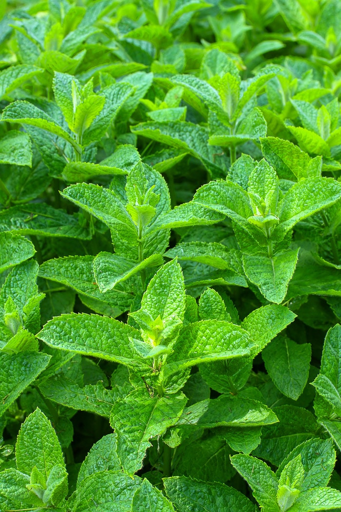 Stock photo of mint in the garden